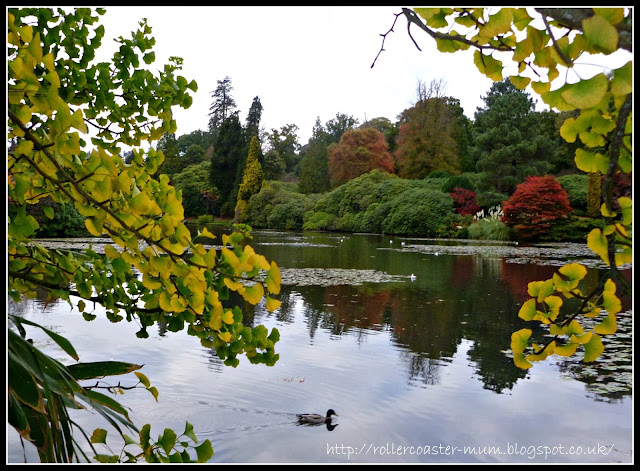 Autumn reflections and a Ginkgo Biloba, National Trust Sheffield Park Garden