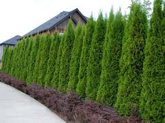 Garden Delights Plant Nursery Blog Conifers Are Excellent