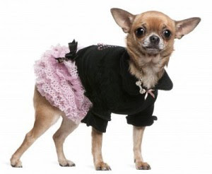 """Cette image est celle d'un petit chien, vraisemllablement un chihuahua, habillé de faço amusante avec ce qui semble être une petite jupe rose et un haut noir. Le petit chien de porfil tourne sa tête vers le spectateur. Cette image amusante et originale, pas dans son thème mais dans son traitement, illustre le poème court du Marginal Magnifique """"Toutou de ces dames"""". Dans ce poème l'immense poète exprime sa volonté de ne pas se coucher, de croquer la vie à pleine dents, de ne pas abandonner la partie en s'abandonnant aux bras de Morphée : en somme il refuse de se comporter comme un petit chien à sa mémère et de filer sagement et docilement à la niche. Ce poème dit aussi la tristesse face au sommeil éternel et l'état de rébellion qu'il engendre chez Le Marginal Magnifique."""