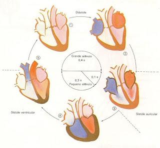 As fases do ciclo cardíaco: diástole, sístole auricular e sístole ventricular