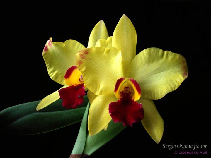 Orquídea Sophrolaeliocattleya Golden Acclaim 'Richella'
