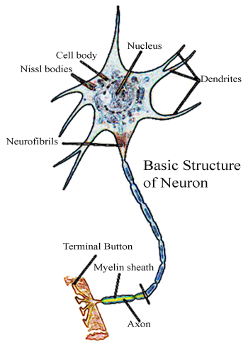 Neuron Structure And Function http://www.medical-reference.net/2012/12/what-are-neurons.html