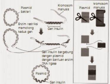 Pemotongan dan penyisipan gen insulin dalam plasmid.