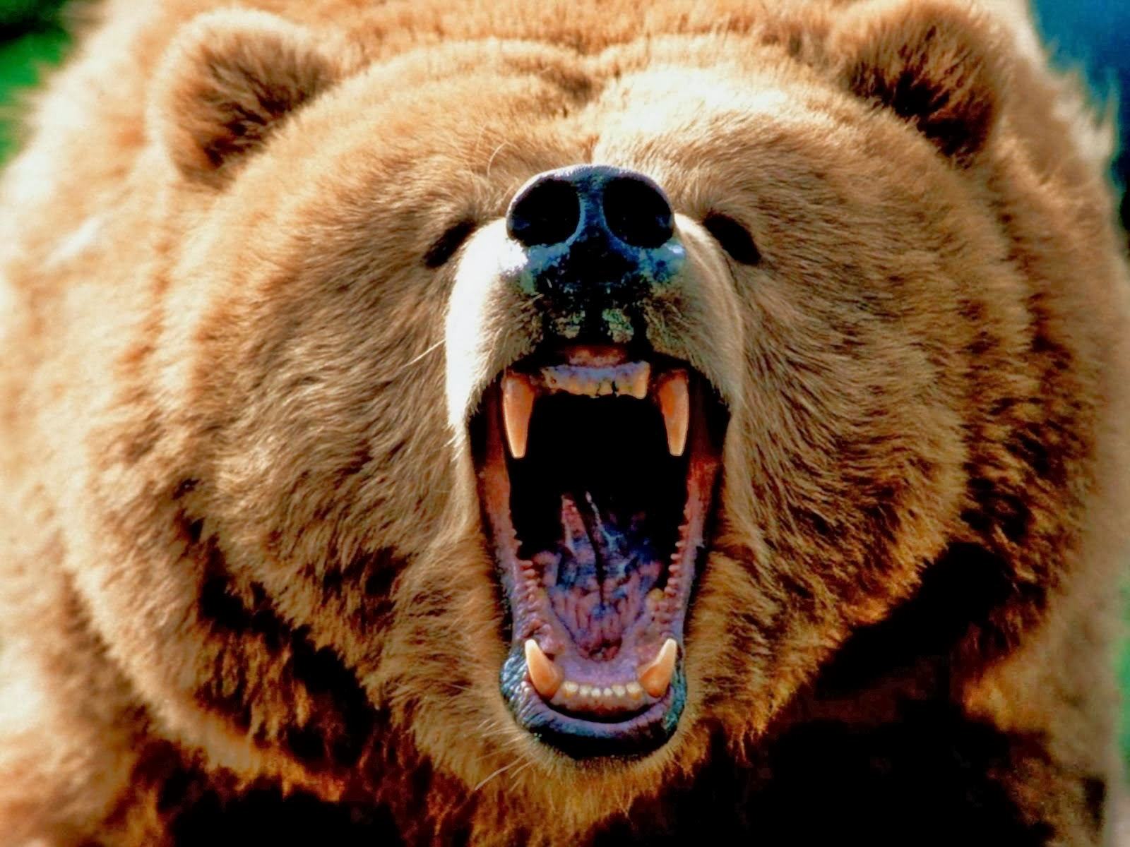 grizzly bear wallpapers top hd wallpapers