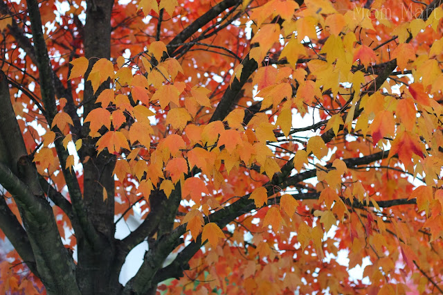 Fall in Illinois with orange tree leaves