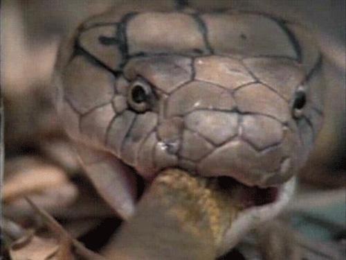 Phát hiện 555 con rắn hổ mang trong kiện hàng