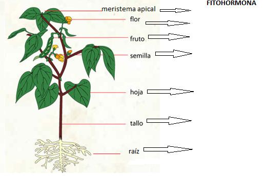 Manuel rodriguez 12 las hormonas vegetales for Hormonas en las plantas