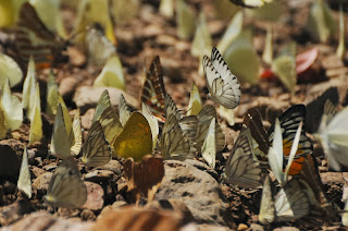 Common Albatross (Appias albina) , Striped Albatross  (Appias olferna), Common Gull (Cepora nerissa), Chain Swordtail (Graphium (Pathysa) aristeus hermocrates), Yellow Orange Tip (Ixias pyrene), Red-spot Sawtooth (Prioneris philonome clemanthe)