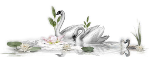 Le cygne blanc d'Ain Défali