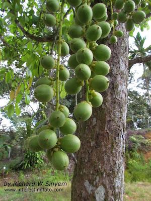 Baccaurea motleyana - Buah Rambai