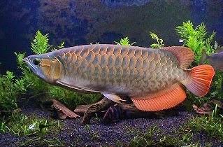 Pakan untuk Arwana, rahasia umpan, umpan ikan bawal,umpan ikan lele,umpan ikan nila,ikan patin liar,umpan ikan gabus,umpan ikan baung,umpan ikan bandeng,umpan ikan mujair,Ikan Arwana,Umpan Ikan Arwana