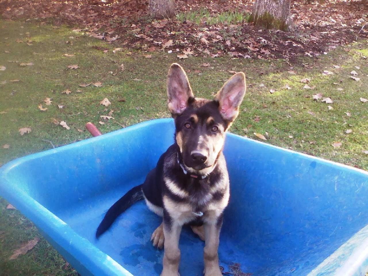 German Sheppard Puppy