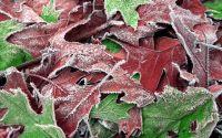 foglie di Natale