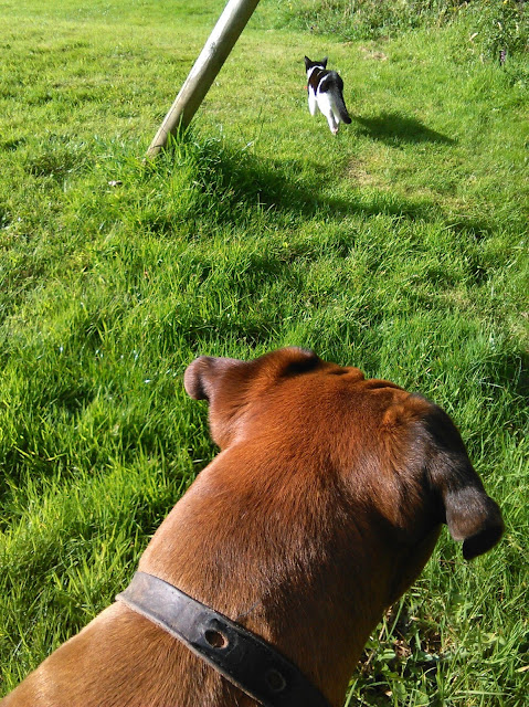 a brown boxer dog looking after a running cat