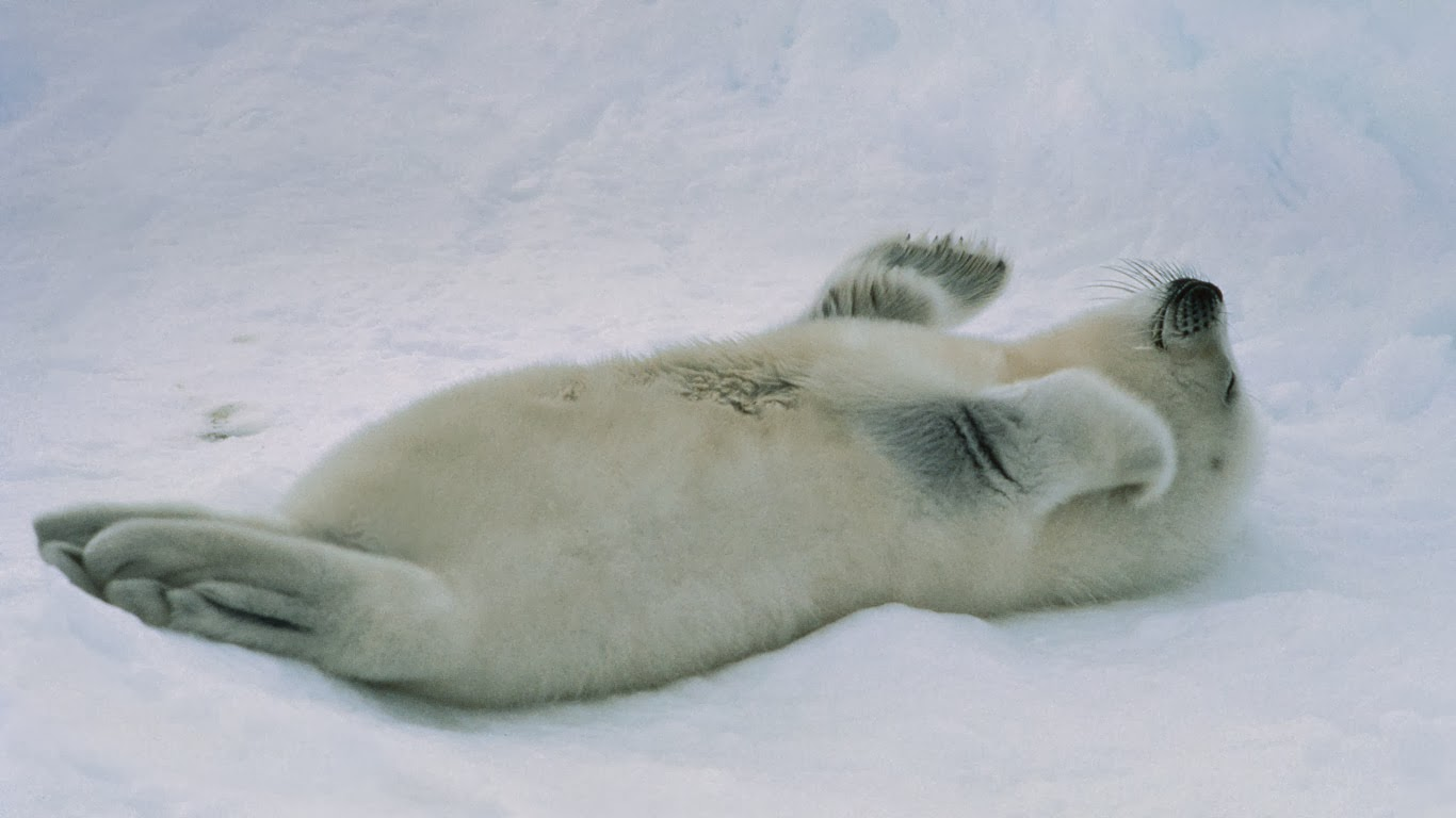 Harp seal pup at the Gulf of St. Lawrence, Canada (© Mitsuaki Iwago/Corbis) 338