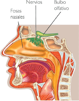 funciones de las fosas nasales: