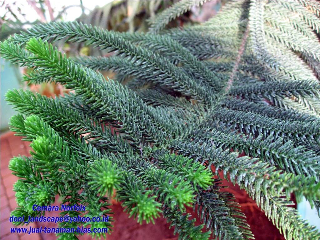 Pohon Cemara Norfolx | Cemara Susun | Araucaria heteropylla