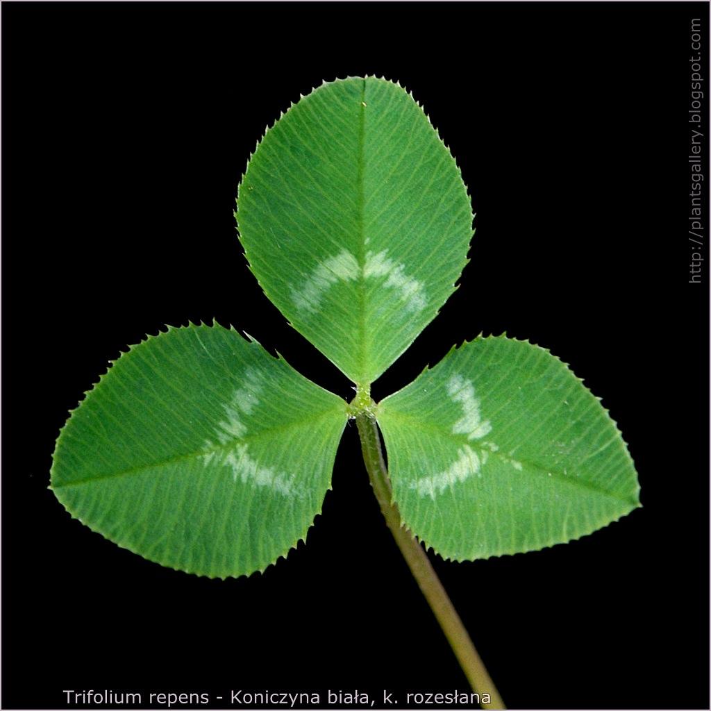 Trifolium repens - Koniczyna biała, koniczyna rozesłana liść