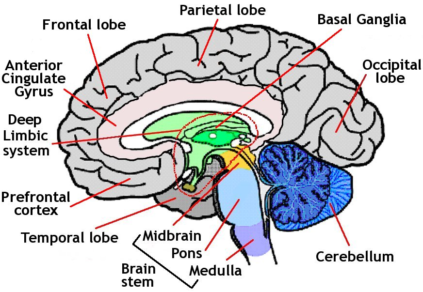 Picture of human brain human anatomy diagram of human brain ccuart