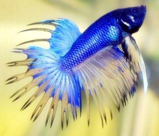 Melatih ikan cupang hias - Akuarium Ikan Hias