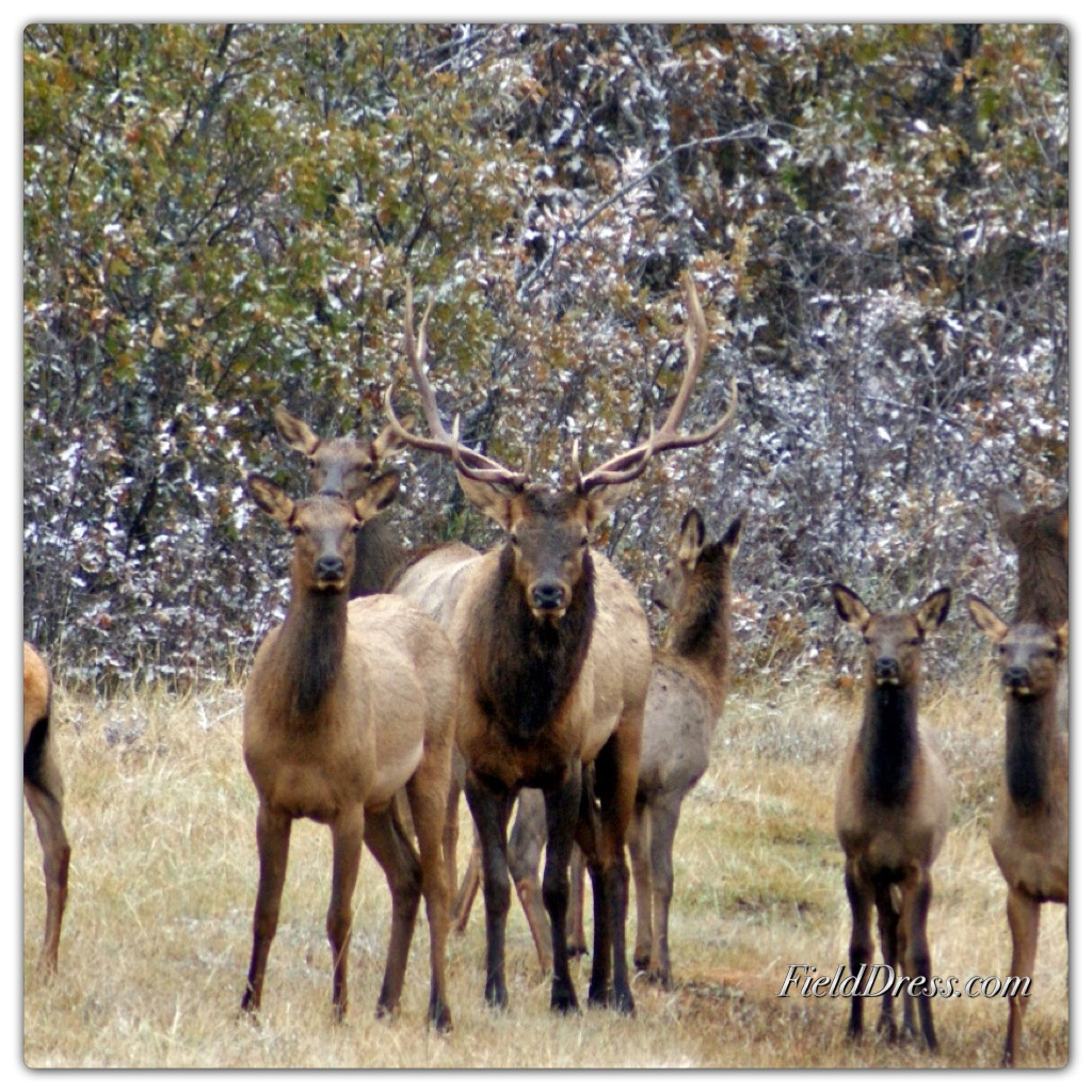 flagstaff, hunting, hunt, elk, bull elk, cow elk, license