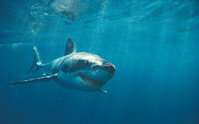 Photo of a dangerous great white shark