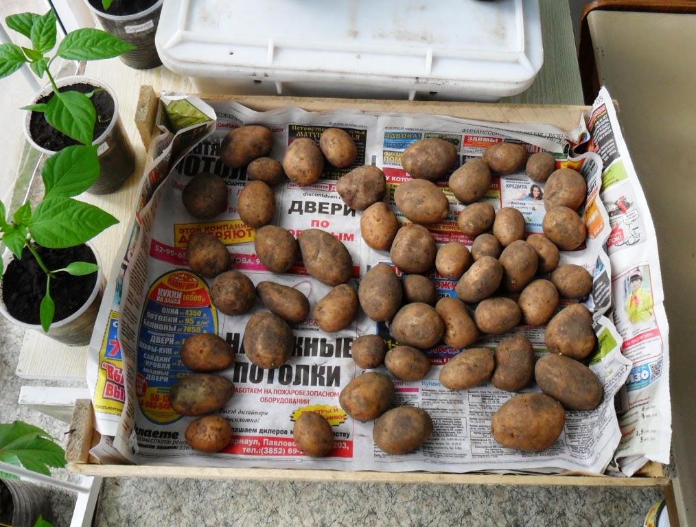 1.05. Купил семян сортовых в магазине. Семенной картофель ТУЛЕЕВСКИЙ.