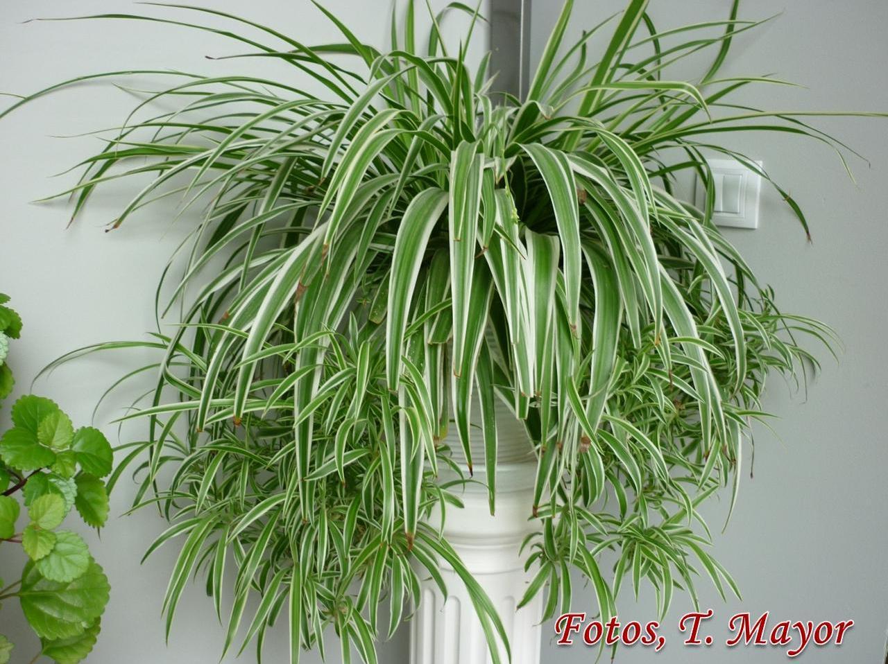 Flores y plantas silvestres chlorophytum comosun - Plantas de interior cintas ...