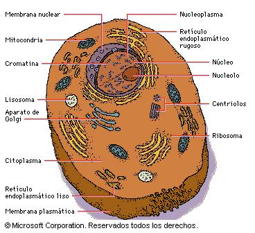 celula animal y sus partes. Células poco diferenciadas y