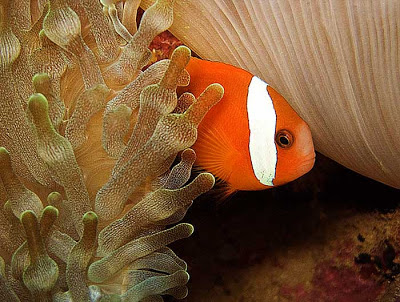 Yellow Clark's Anemonefish