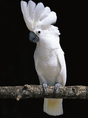 Cockatoos for Sale in Houston | Pets on Oodle Marketplace
