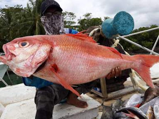 Ikan ruby snapper