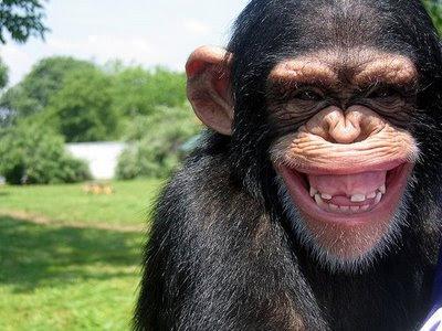 ¿Un chimpancé te sonríe? Cuidado!!!