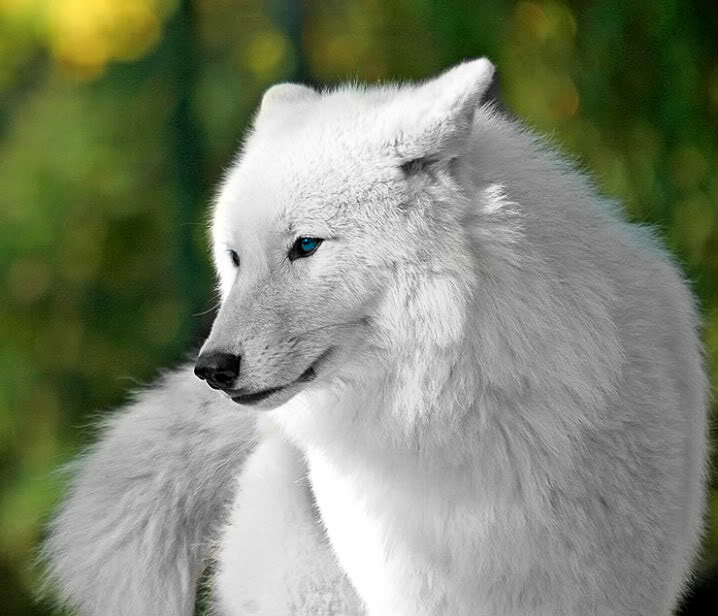 White wolf wallpaper with blue eyes - photo#23