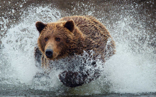 brown bear water wallpaper