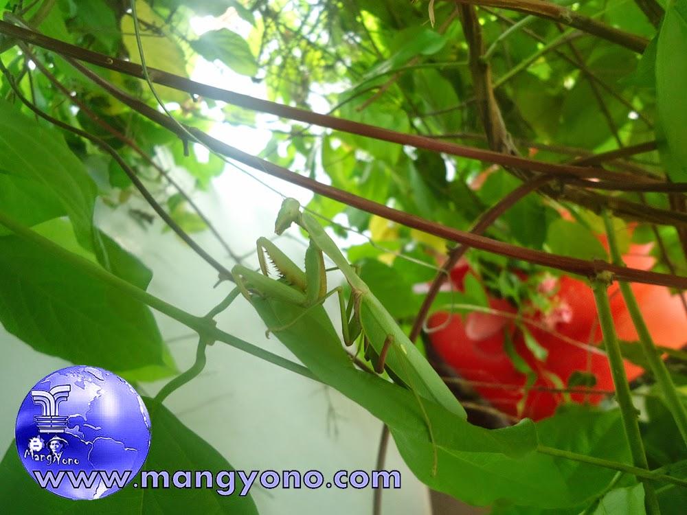 Congcorang menclok di pohon