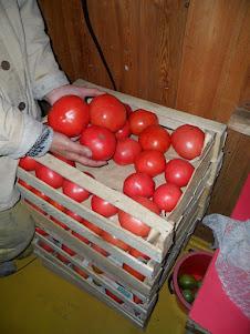 Сорта помидоров для Сибири, А - Я