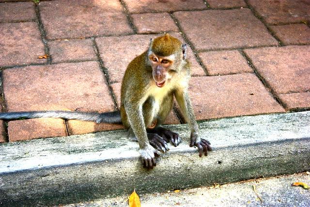 Sentosa monkeys