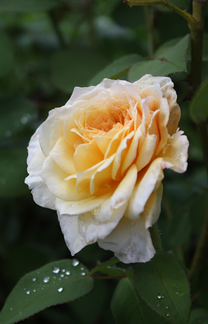 Gold Rose, Photograph, Sarah Myers, S. Myers, flower, art, arte, yellow, floral, rain,  autumn