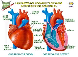 http://www.eltanquematematico.es/corazon/dentrofuera/vasossangui_p.html