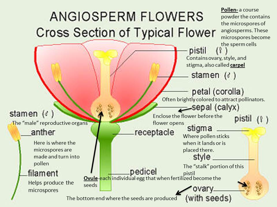 Diagram Of Angiosperm