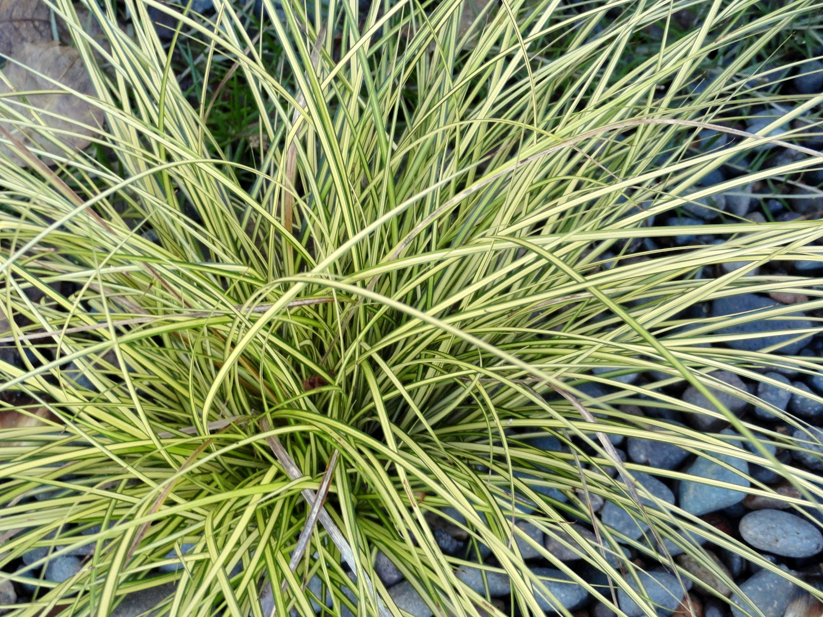 Danger garden carex brunnea jenneke my favorite plant in the garden this week - Cadre x ...