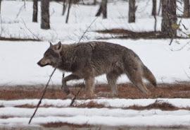 Lobo euroasiático