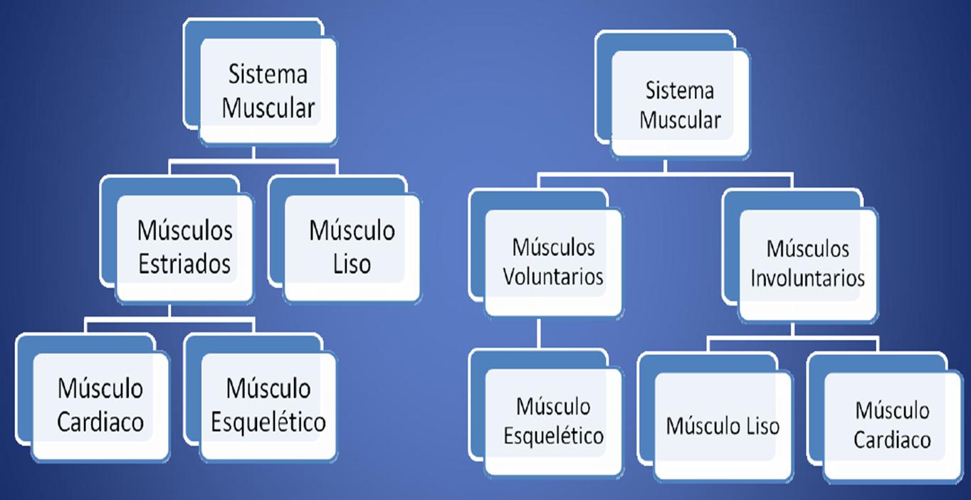 Excepcional Diagrama De Sistema Músculo Esquelético Ornamento ...