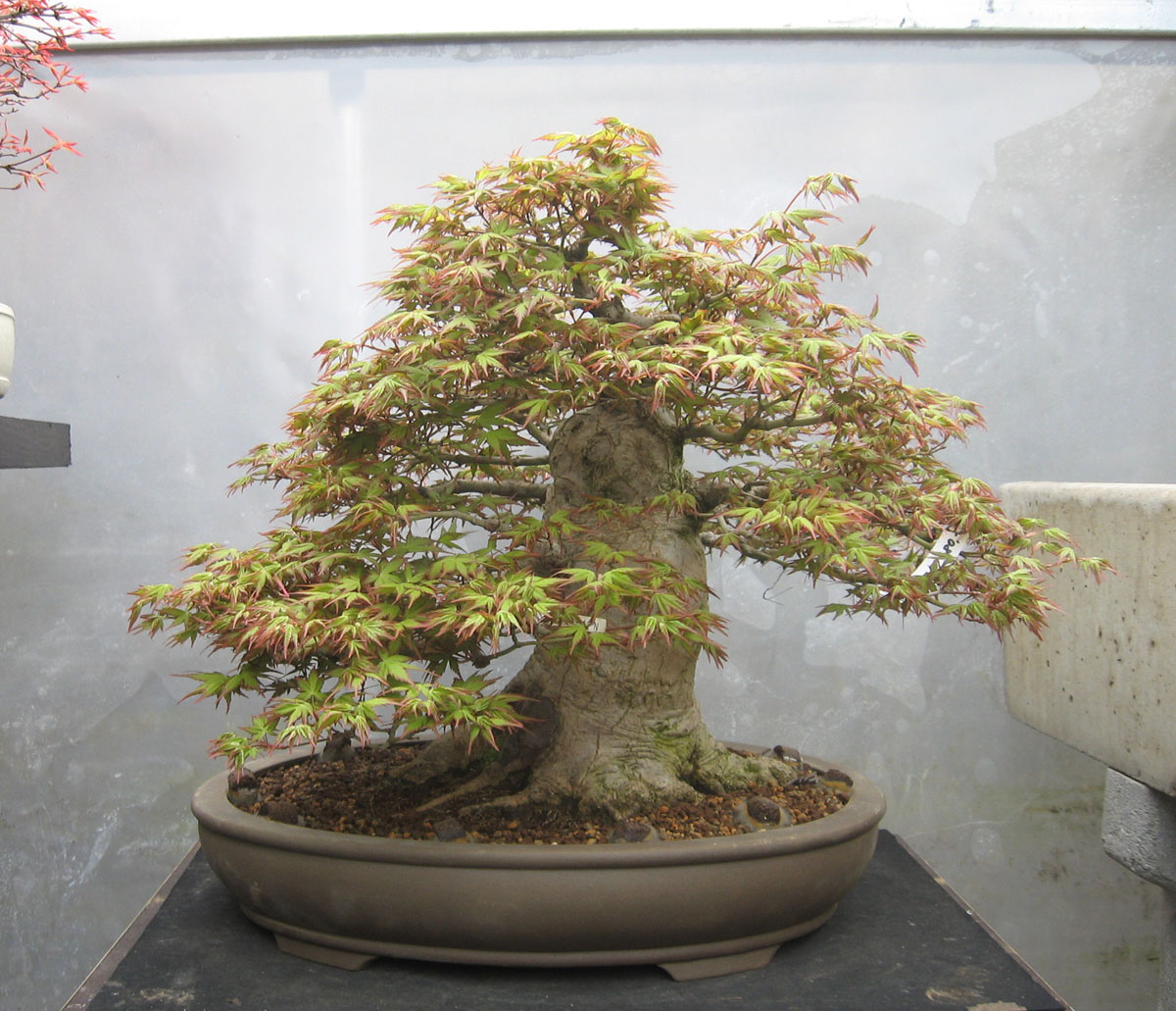 Walter Pall Bonsai Adventures Two Trees Stolen Bonsaipark Remscheid
