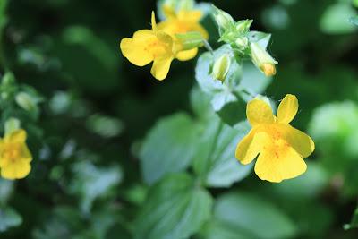 [Scrophulariaceae] - Mimulus guttatus - Yellow Monkey-Flower
