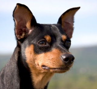 The Miniature Pinscher Aficionado's A-Z Handbook to a Wonderful Companion