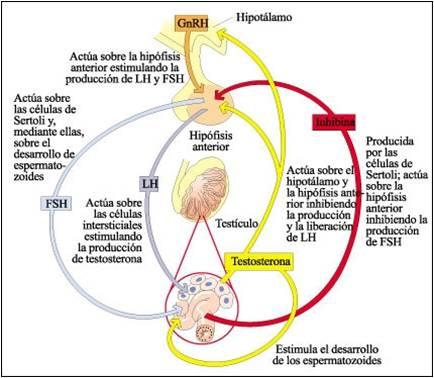 Receptores hormonales y de estrgenos en la mujer