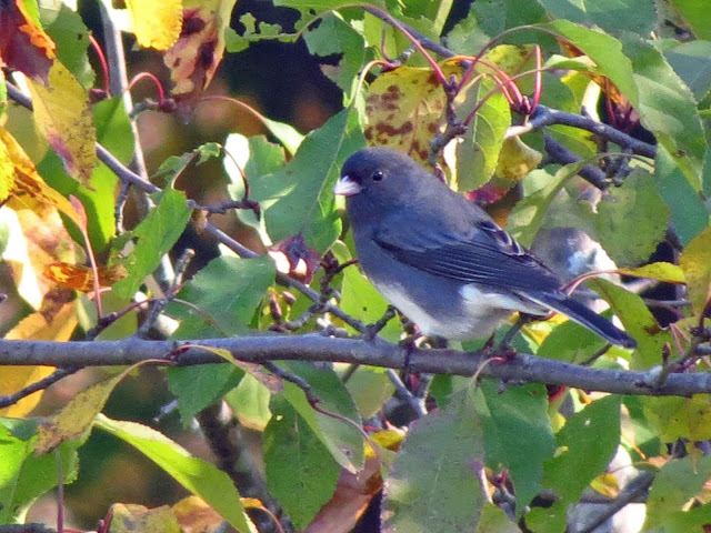 dark-eyed junco in apple tree