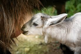cara memelihara kambing, cara merawat kambing, budidaya kam bing, ternak kambing